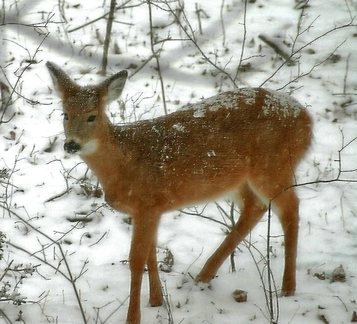 Deer in Storm
