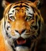 Tiger Art Close-U...