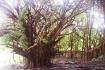 Hilo, HI old tree...