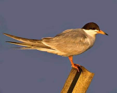 Tern at Daybreak