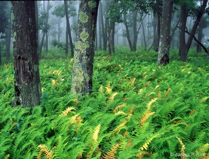 Skyline Drive Ferns