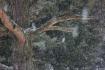 blue spruce backg...