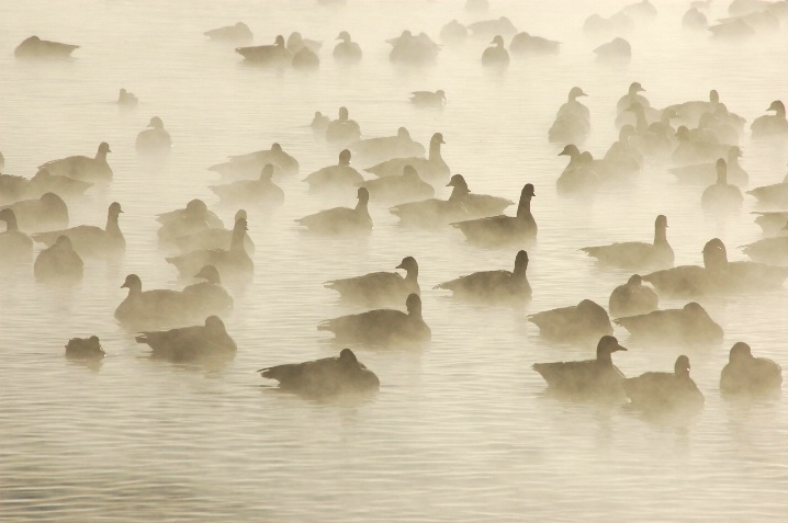 Ghostly Geese