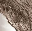 Female Leopard Bo...