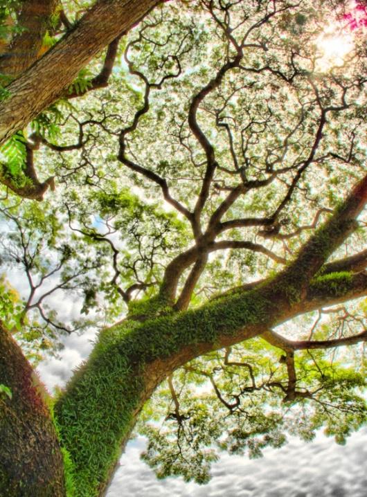 Penang Tree, v.30