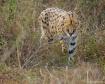 Stalking Serval