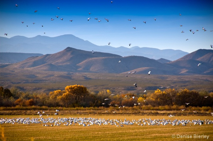 Snow Geese at Bosque del Apache - ID: 5424351 © Denise Bierley