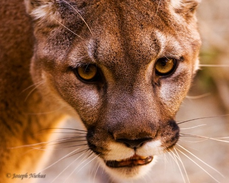 Cougar (Up close and personal)
