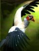 Vulture Attack