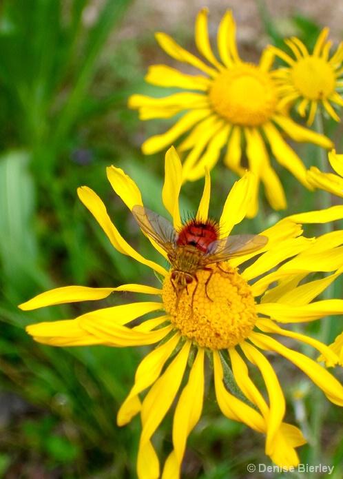 Red Fly on Flower - ID: 5448005 © Denise Bierley