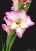 Gladiola Beauty 2