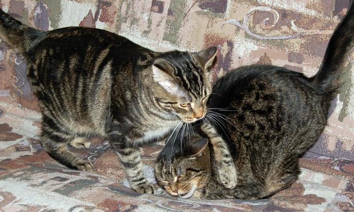 Wrestling Kitties
