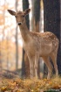 White-tailed Doe,...