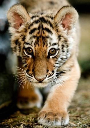 Shatari Tiger Stalk-Panthera tigris