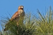 Hawk in the Pines