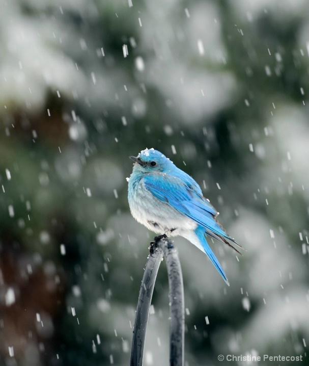 """""""Mountain Bluebird"""""""