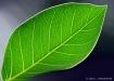 Leaf View