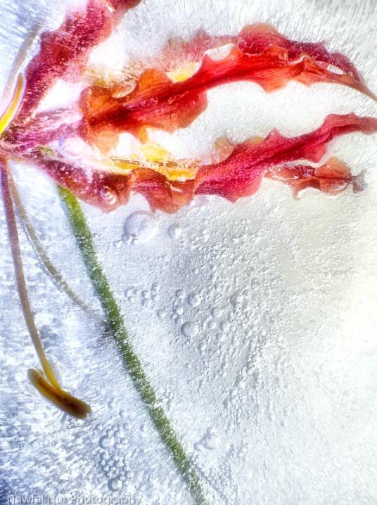 Gloriosa Lily in Ice, v.2