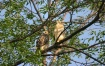 Baby red-tailed h...