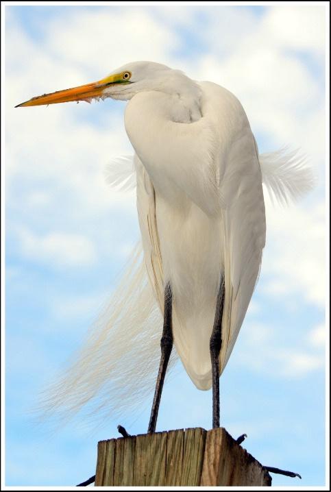 Egret Posing...