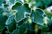 Frosted Ivy Leave...