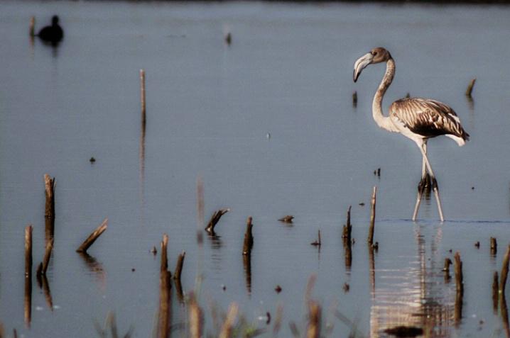 Amateur Flamingo
