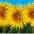 2Sunflower Explosion - ID: 5577676 © Sherry Karr Adkins
