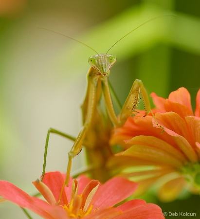 praying mantis on flower