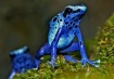 Blue Poison Dart ...