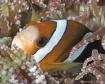 Barrier Reef Anem...