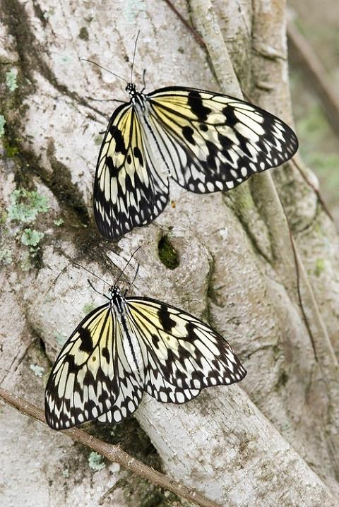 Pair of Tree Nymph Butterflies