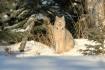 Wild Lynx of the ...