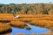 Egret Over Marsh