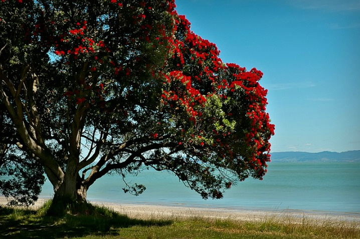The Old Pohutukawa Tree