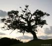 Tree at Sunset, K...