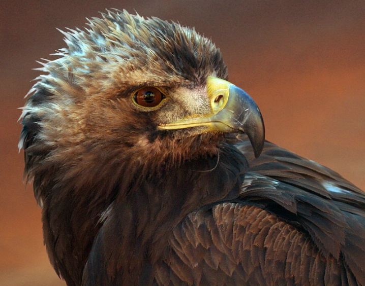 Golden Eagle - ID: 5671572 © Kathy Reeves