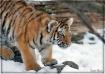 Tiger Cub....