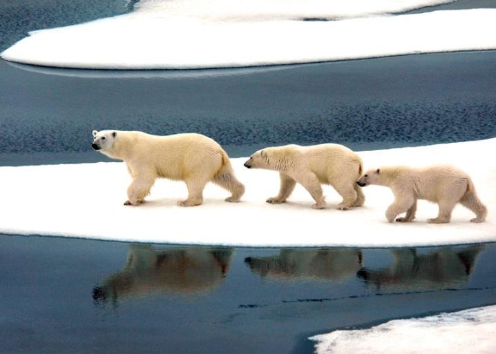 Ice Bear 1 - ID: 5721761 © Daniel Schual-Berke