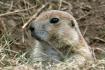 Prairie Dog Looko...