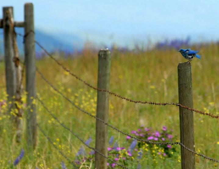 Blue Bird - ID: 5729191 © Kelly Pape