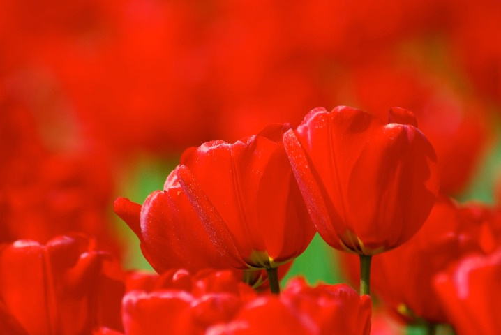 Fields of Red - ID: 5729330 © Kelly Pape