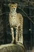 Jaguar In Pose