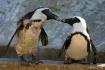 Penguins In Love?