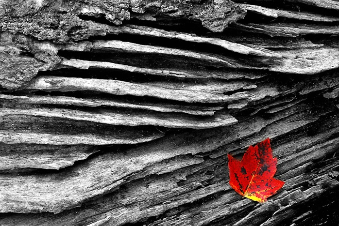 Red Leaf in Log