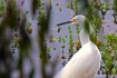 Snowy Egret, Deve...