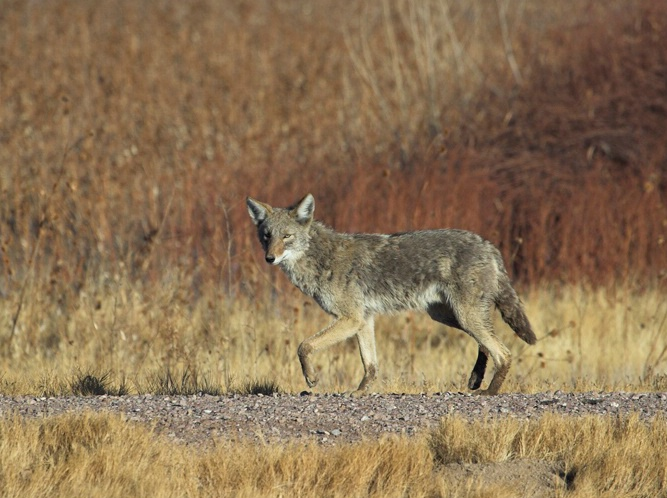 New Mexico Coyote - ID: 5750009 © Richard L. Smith