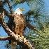 © Beth E. Higgins PhotoID# 5751915: Bald Eagle  WL 285