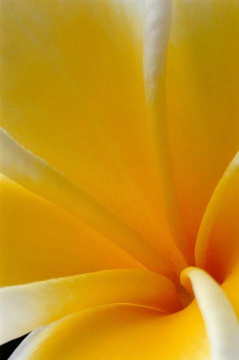 plumeria, yellow, flower, macro