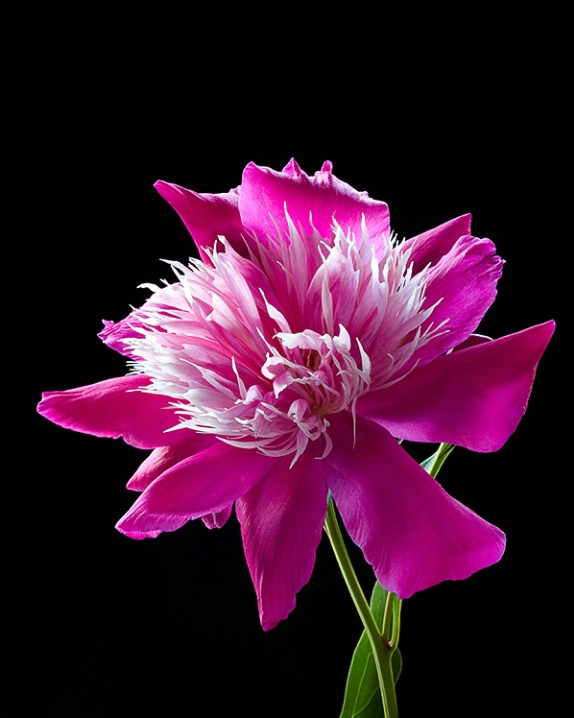 Peony, pink, flower, macro