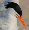 Royal Tern in Bre...